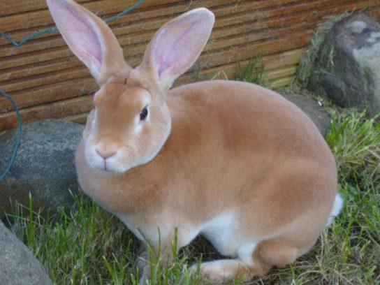 рекс-кролик