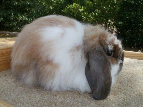 Американский вислоухий кролик