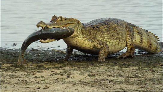 чем питается крокодил