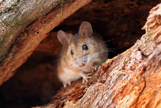 чем питаются мыши - фото 8