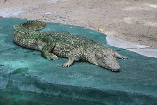 как выглядит сиамский крокодил