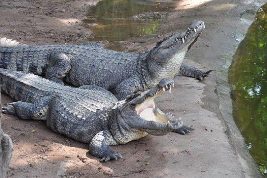 фото сиамского крокодила