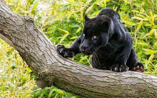 где обитает черная пантера