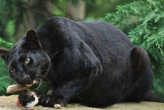 рацион черной пантеры