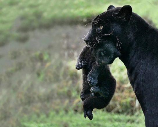 черная пантера с детенышем
