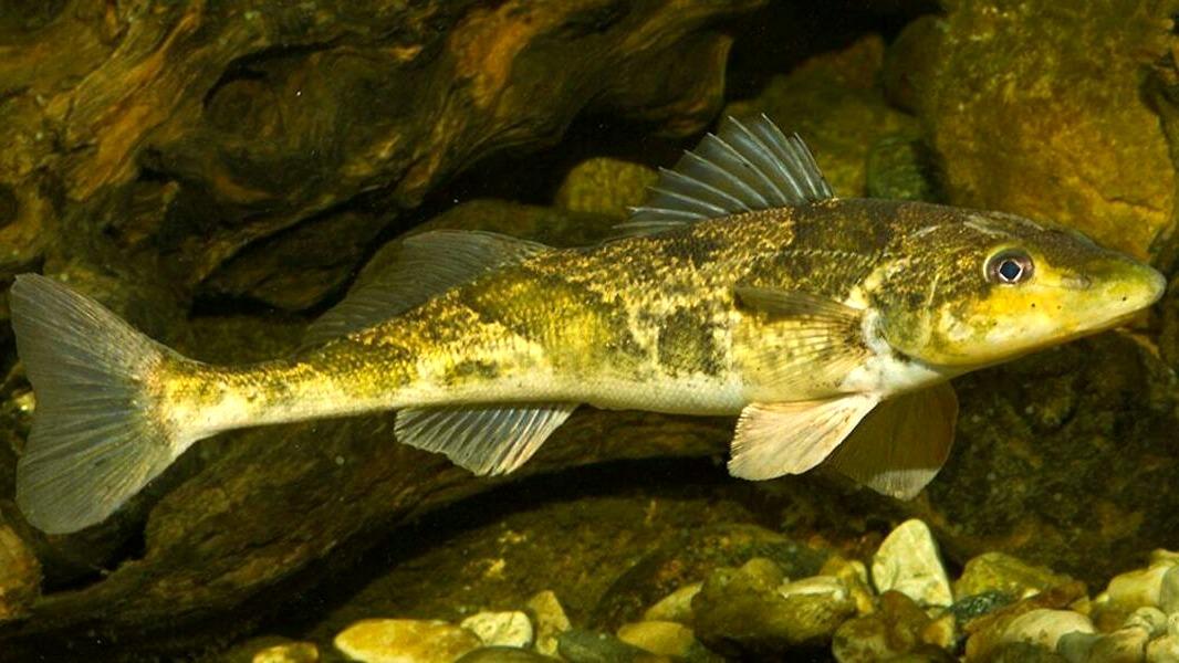 фиммел рыба из красной книги украины фото речная фоне других красиво
