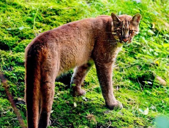 ареал обитания кошки Темминки