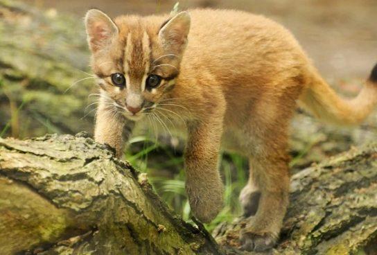 размножение кошки Темминка