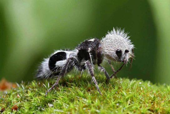 фото муравья панды