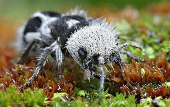 как выглядит муравей-панда