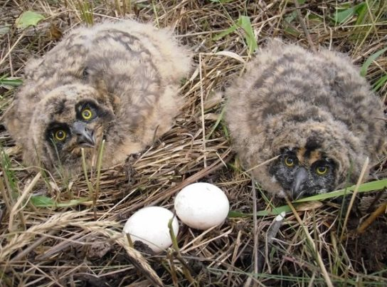 Птенцы болотной совы