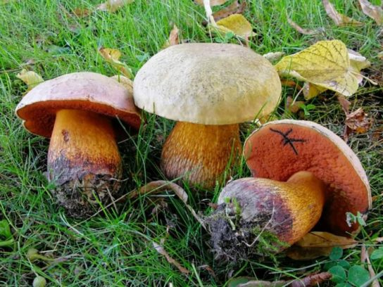 польза сатанинского гриба