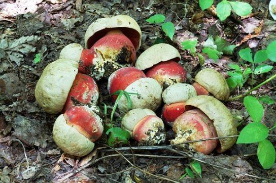 где растет сатанинский гриб