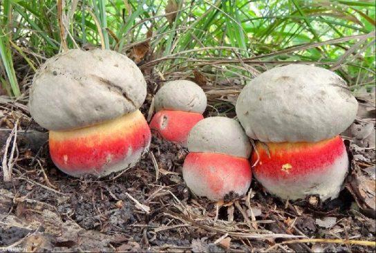 фото сатанинского гриба