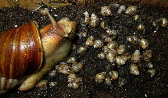 Процесс размножения улиток