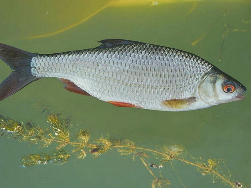 многочисленными речные рыбы беларуси фото с названиями там, если