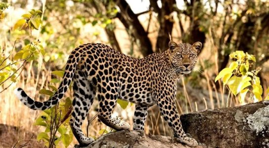 Африканский леопард - фотография