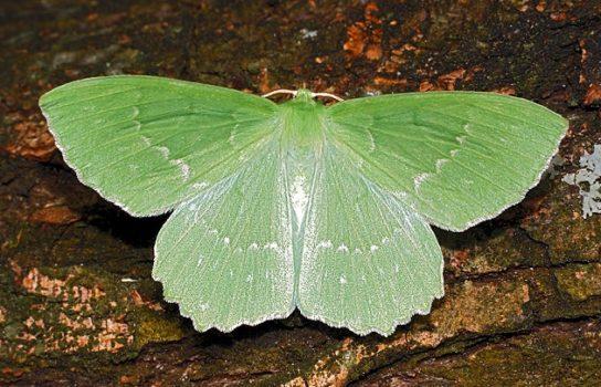 Большая зеленая пяденица - фотография