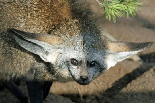 где обитает большеухая лисица