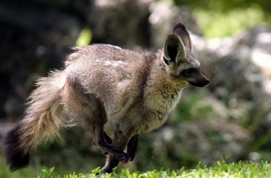 образ жизни большеухой лисицы