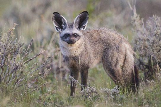 питание большеухой лисицы