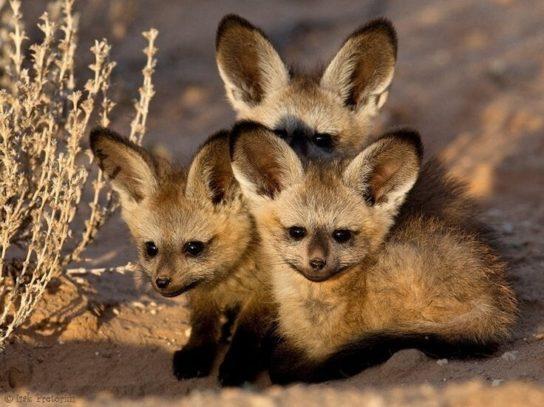 детеныши большеухой лисицы