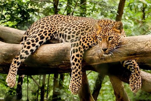 Цейлонский леопард - фотография