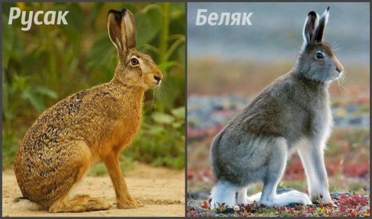 сходства беляка и русака