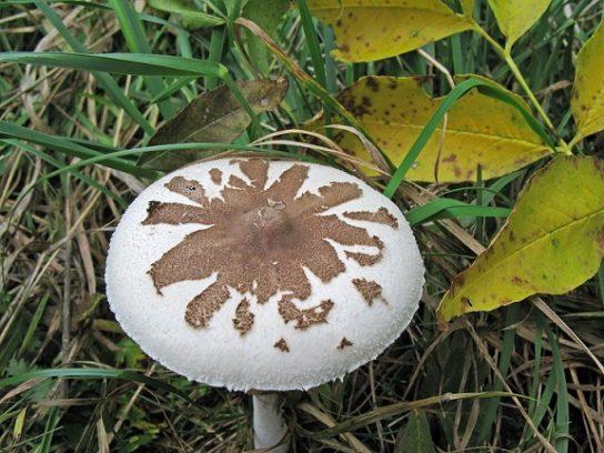 Гриб-зонтик Конрада - фотография