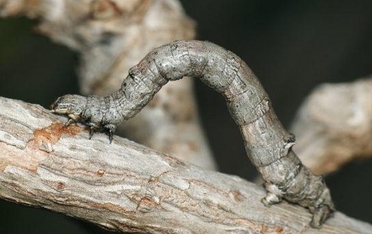 гусеница пяденицы