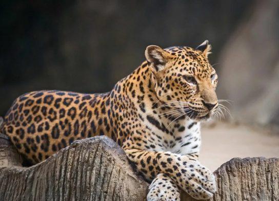 Индокитайский леопард - фотография