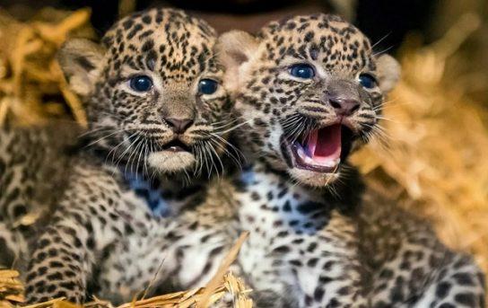 Детеныши леопарда