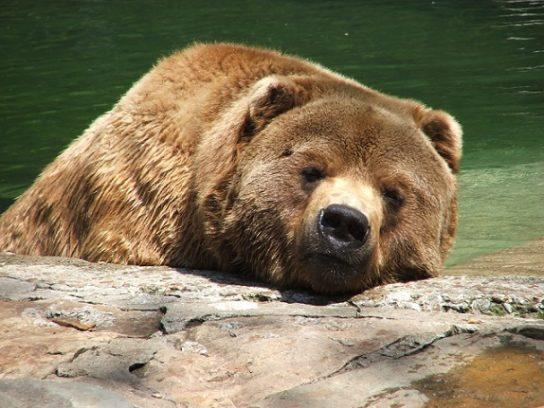 спячка у медведя - фото