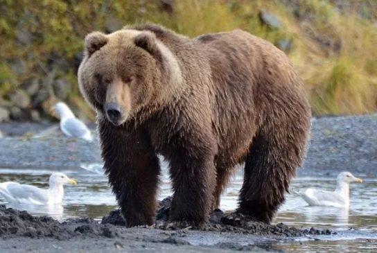 чем питается медведь кадьяк