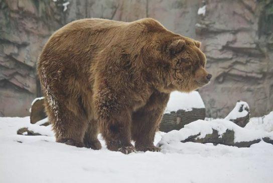 Аляскинский медведь - Кадьяк