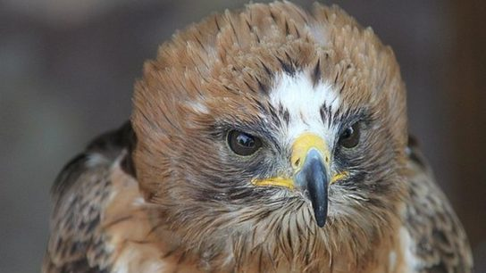 рацион орла-карлика