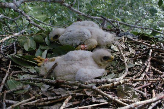 Птенцы орла-карлика