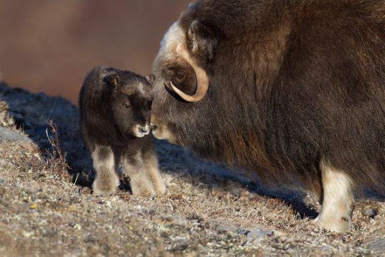 Детеныш овцебык