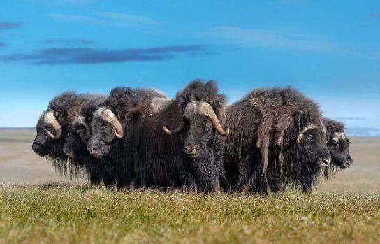 особенности овцебыка