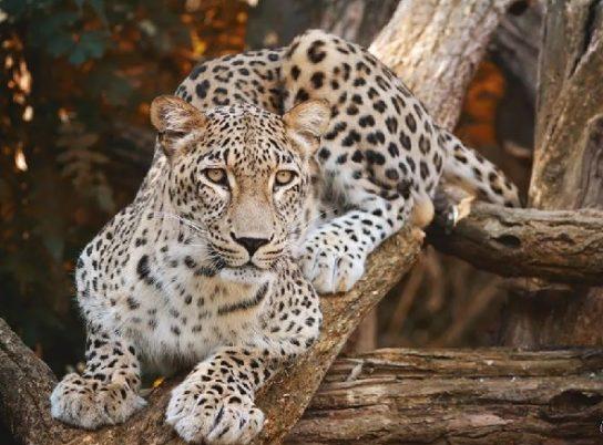 Персидский леопард - фотография