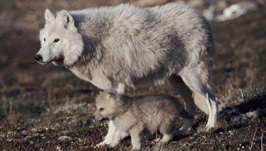 полярный волк со щенком - изображение