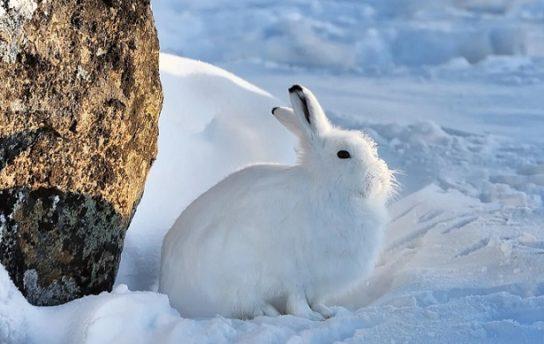 полярный заяц - интересные факты