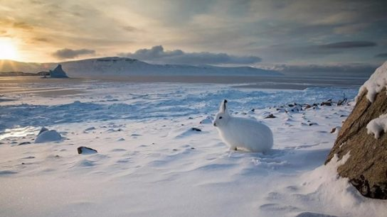 Арктический заяц встречает закат