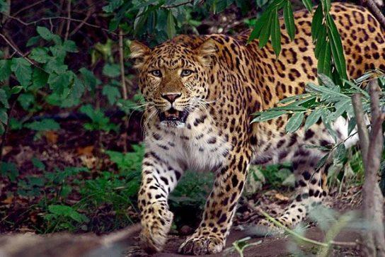 Севернокитайский леопард - фотография
