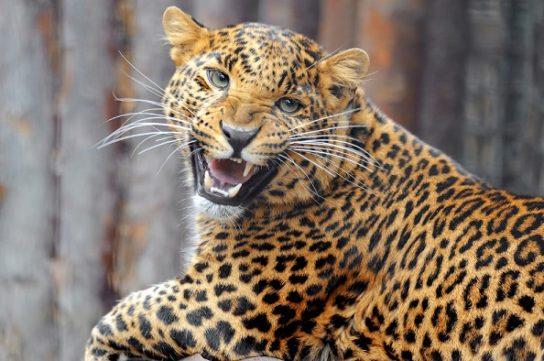 Яванский леопард - фотография