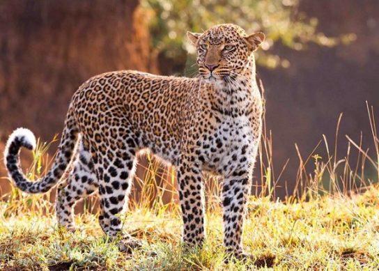 Южноаравийский леопард - фотография