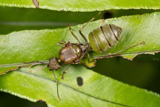 Азиатский муравей-портной