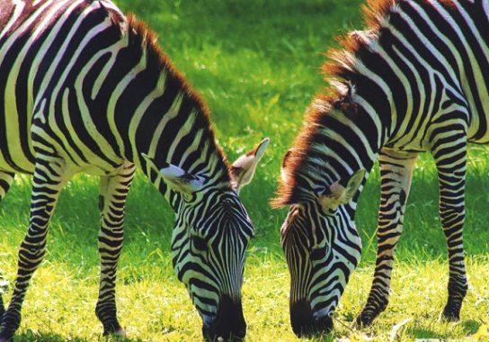 рацион зебры