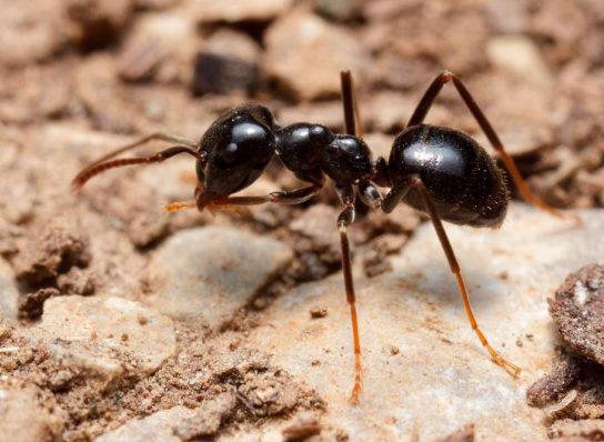 Черный садовый муравей - фотография