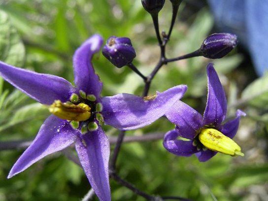 Цветок пасленовых